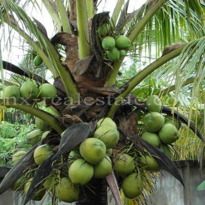 ต้นมะพร้าวที่บ้านหนองหาร
